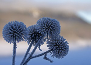 Frosty_thistles_(3105757058)